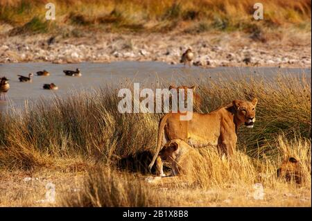 Lions at Salvadora waterhole, Etosha National Park, Namibia