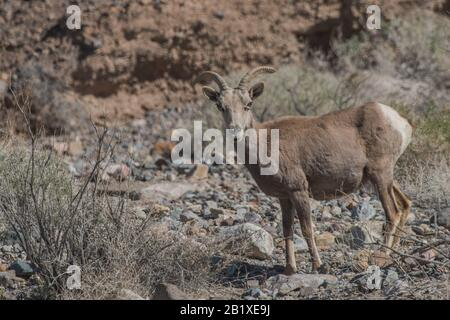 A desert bighorn sheep (Ovis canadensis nelsoni), the largest native mammal in Death Valley National Park. - Stock Photo