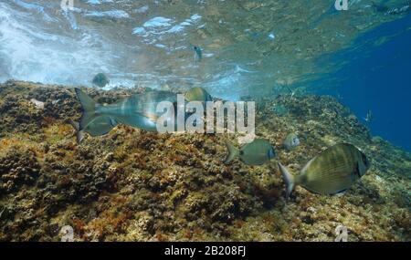 Mediterranean sea fish underwater, a gilt-head bream with several sargo seabream near water surface, France - Stock Photo
