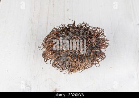 One whole old brown rambutan on white wood - Stock Photo