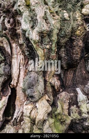 Closeup of the bark of an ancient 17c sweet chestnut tree (Castanea sativa) in the late medieval deer park at Brampton Bryan, Herefordshire, UK - Stock Photo