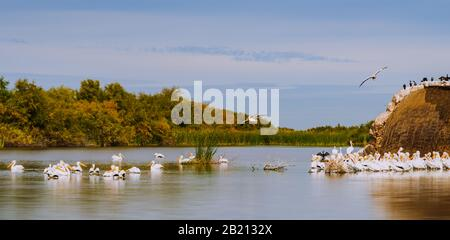 American white pelicans congregated by the ruined Gillespie Dam near the Historic Gillespie Dam Bridge in Arizona. - Stock Photo