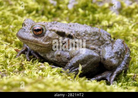 Erdkroete, Bufo bufo, Common Toad, auf Moos sitzend - Stock Photo