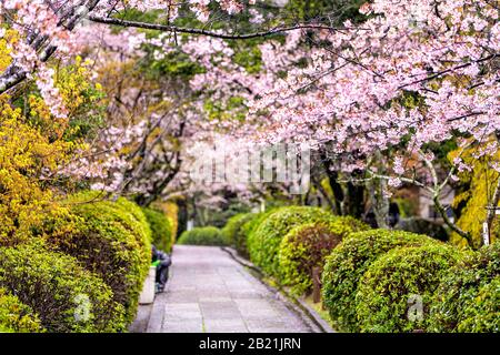 Kyoto, Japan park garden temple entrance in Gion district with long road narrow street empty path to ryozen honbyo with pink cherry blossom flowers Stock Photo