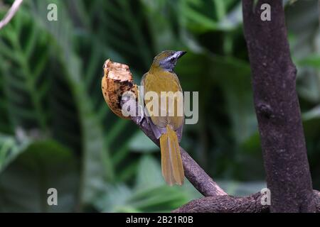 Black-headed Saltator perched on a branch - Stock Photo