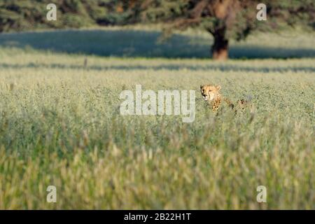 Cheetah (Acinonyx jubatus), young adult male, standing in the high grass, alert, Kgalagadi Transfrontier Park, Northern Cape, South Africa, Africa