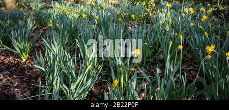 Yellow Daffodills bloom in early Spring Narcissus - Stock Photo