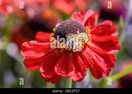 wasp on red helen flower - Stock Photo