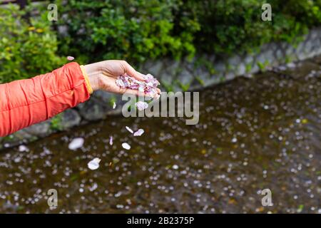 Kyoto, Japan woman female hand dropping holding cherry blossom sakura petals in palm by Takase river canal water on spring day
