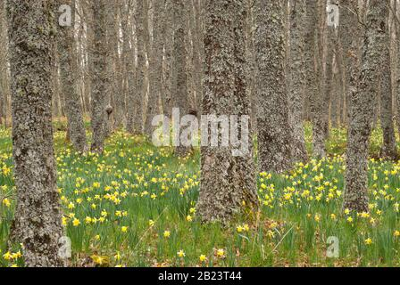 Wild daffodils - Narcissus pseudonarcissus in oak forest - Stock Photo