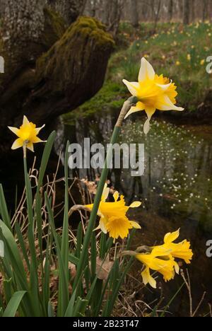 Wild daffodils - Narcissus pseudonarcissus on riverside - Stock Photo