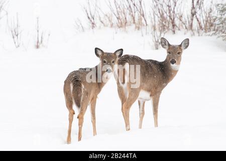 White-taile deer (Odocoileus virginianus), Winter, Eastern North America, by Dominique Braud/Dembinsky Photo Assoc