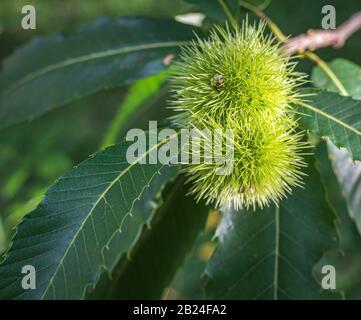 Fruit on managed sweet chestnut (Castanea sativa) trees - Stock Photo