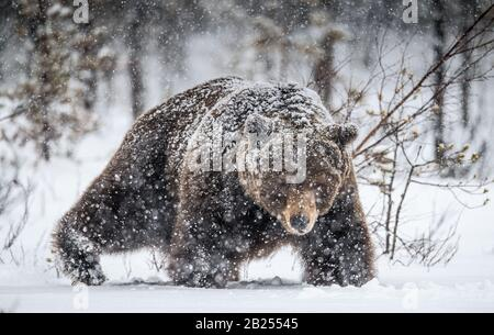 Adult Male of Brown  Bear walks through the winter forest in the snow. Front view. Snowfall, blizzard. Scientific name:  Ursus arctos. Natural habitat - Stock Photo