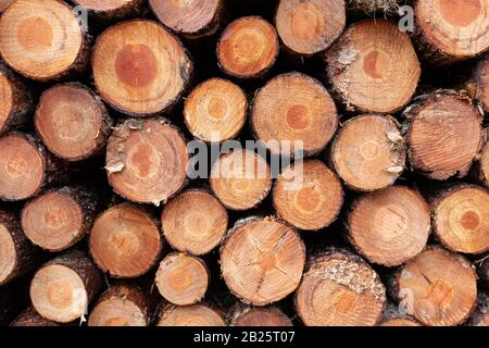 Large stack of logged pine tree wood showing annual growth rings