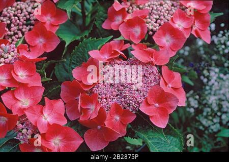 Gartenhortensie, Hydrangea macrophylla Kardinal - Stock Photo