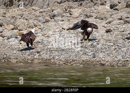 Close-up of Bald Eagle sitting on rocks and spreading wings next to the river. - Stock Photo