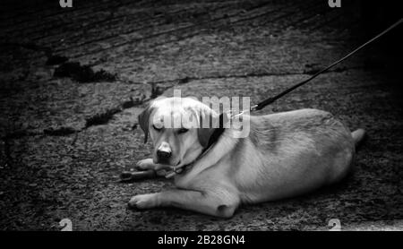 Dog tied in street alone, pets - Stock Photo