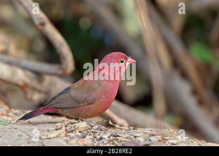 Red-billed Firefinch (Lagonosticta senegala), male, Georgetown, Gambia. - Stock Photo