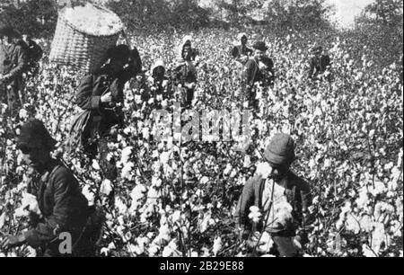 Slaves picking cotton on a Southern plantation. - Stock Photo