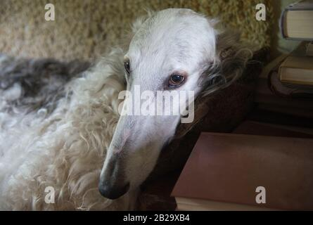 The Borzoi, also called the Russian wolfhound, dog portrait. Dog is situated on sofa. Old books in the corner of composition. - Stock Photo