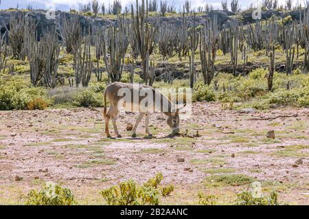 A donkey is grazing in a field on the caribbean island Bonaire. Cacti are growing in the background. - Stock Photo