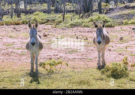 Two donkeys standing together in a field on the caribbean island Bonaire. Cacti are growing in the background. - Stock Photo