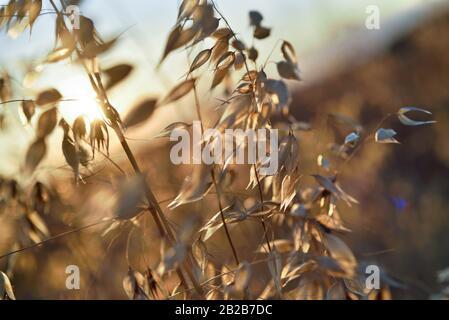 folle-avoine (Avena fatua), departement Eure-et-Loir, region Centre-Val de Loire, France, Europe/common wild oat (Avena fatua), Eure-et-Loir - Stock Photo