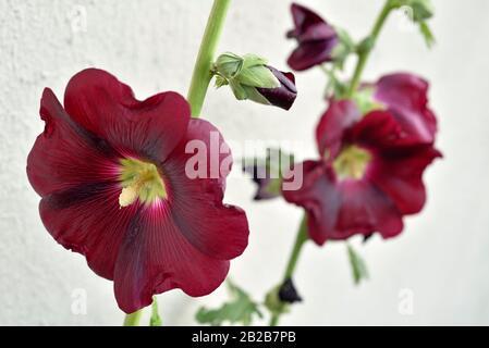hollyhock, Alcea rosea, France, Europe. - Stock Photo