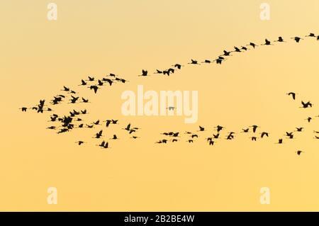 Flock of cranes (Grus grus) at twilight. Valverde de Leganes. Badajoz province. Extremadura. Spain