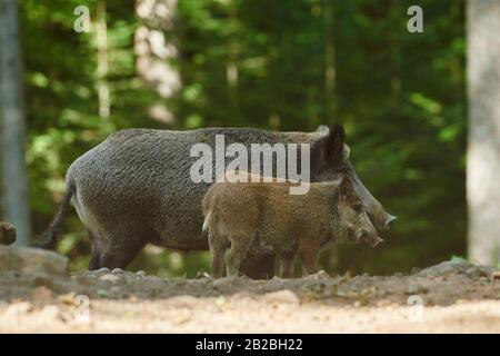 Wild boar (Sus scrofa) picklet in a forest in summer, Bavarian Forest National Park, Bavaria, Germany, Europe. - Stock Photo