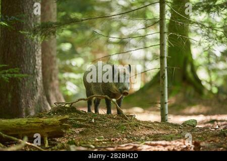 Wild boar (Sus scrofa) in a forest in summer, Bavarian Forest National Park, Bavaria, Germany, Europe. - Stock Photo