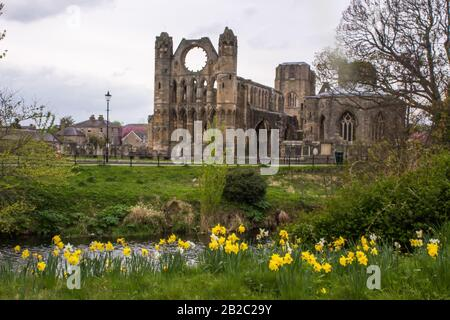The Ruin's of the Elgin Cathedral in Spring on the Bank of the River Lossie, in Northern Scotland, with Daffodils in the foreground - Stock Photo