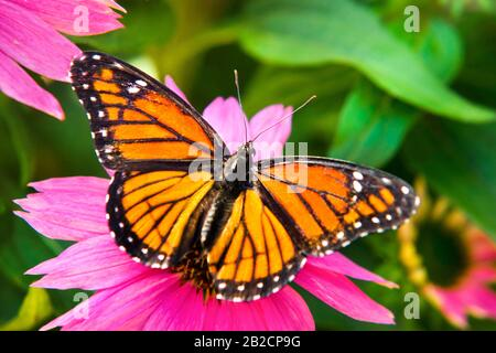 Viceroy Butterfly on Coneflower - Stock Photo