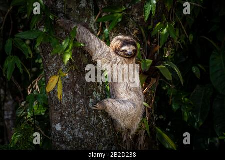 Brown-throated three-toed sloth young one climbing a tree