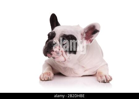 sad french bulldog lying down and looks to side on white background - Stock Photo
