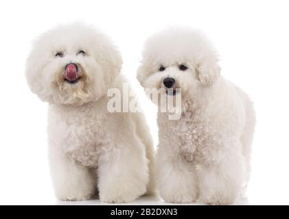 couple of bichon frise dogs one licking its nose, on white background - Stock Photo