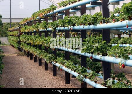 Hydroponic production of strawberries. Strawberry is one of the main plants grown in Hydroponics. - Stock Photo