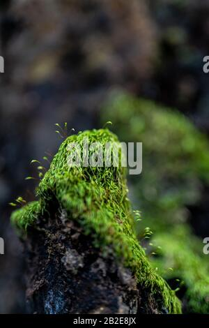 Detail of Moss growing on old tree trunk on forest floor in California - Stock Photo