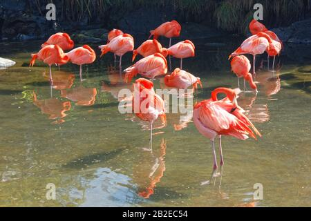 Flamingos under the sun in a river in a zoo during summer - Stock Photo