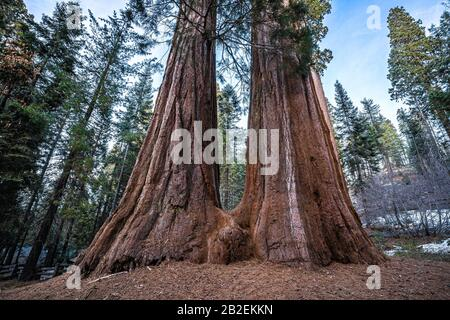 Two giant sequoias joined at the base in Sequoia National Park, California