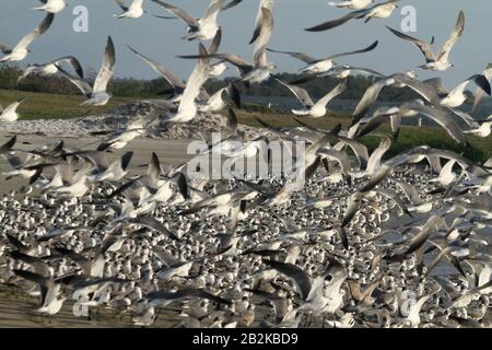 Beach with large seagull colony in Western Florida, USA - Stock Photo