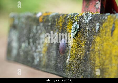 Foliose lichen, a complex organism that arises from a symbiotic relationship between fungi and a photosynthetic partner, on an old wooden bench. Macro