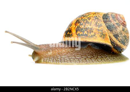 Mature Typical Snail Isolated On Colour Studio Shot - Stock Photo