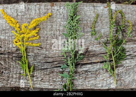 Comparison of Solidago, wormwood or Artemisia absinthium and Ambrosia flowering in summer. Soft focus. Collected medicinal plants on a concrete slab. - Stock Photo