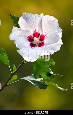 Rose Of Sharon Flower - Stock Photo