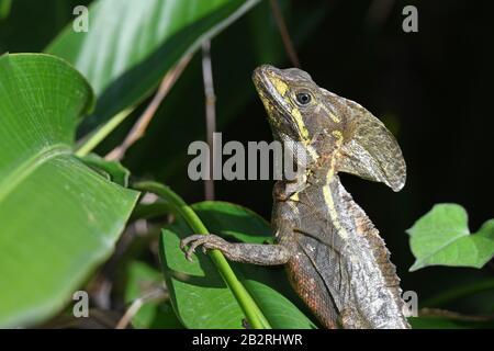 common basilisk (Basiliscus basiliscus) , closeup on adult - Stock Photo