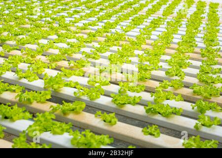 Organic hydroponic vegetable cultivation greenhouse farm.Concept of healthy eating. Farming. Food production.