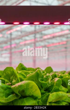 LED lighting used to grow lettuce inside a Dutch greenhouse without the need for sunlight