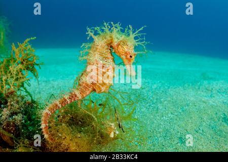 Long-snouted seahorse, Hippocampus guttulatus, Tamariu, Costa Brava, Spain, Mediterranean Sea - Stock Photo